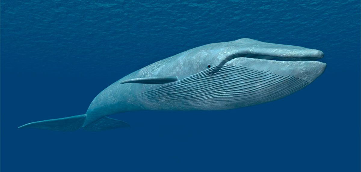 Perdida de la ballena azul