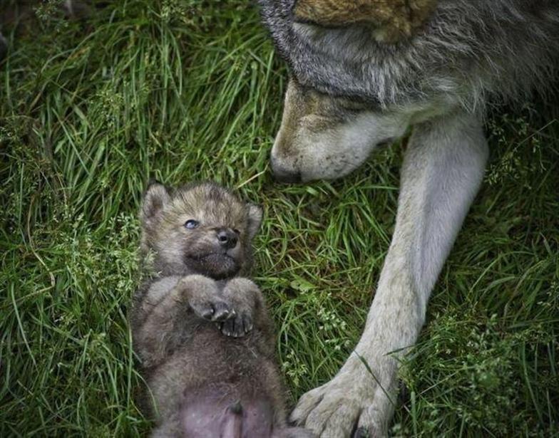 Datos curiosos sobre el Lobo Gris Mexicano (1)