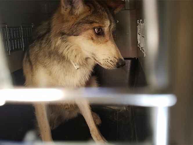 Regresan de E.U. 11 lobos mexicanos; los liberan en Chihuahua