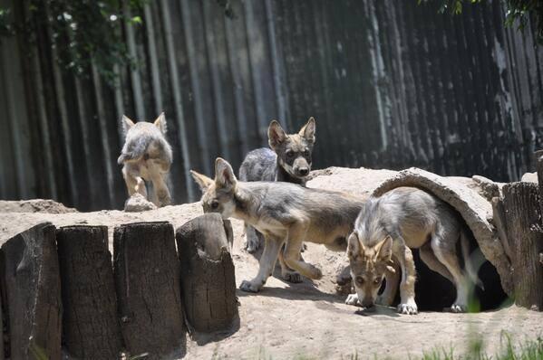 Continúa el lobo mexicano en peligro de extinción