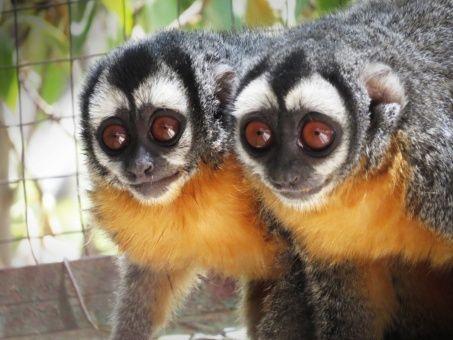 Mono nocturno de Brasil y Perú esta amenazado de extinción