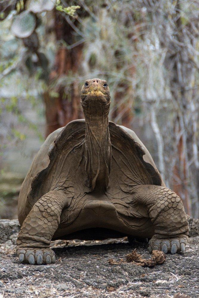 Tortugas gigantes extintas en Galápagos serán recuperadas