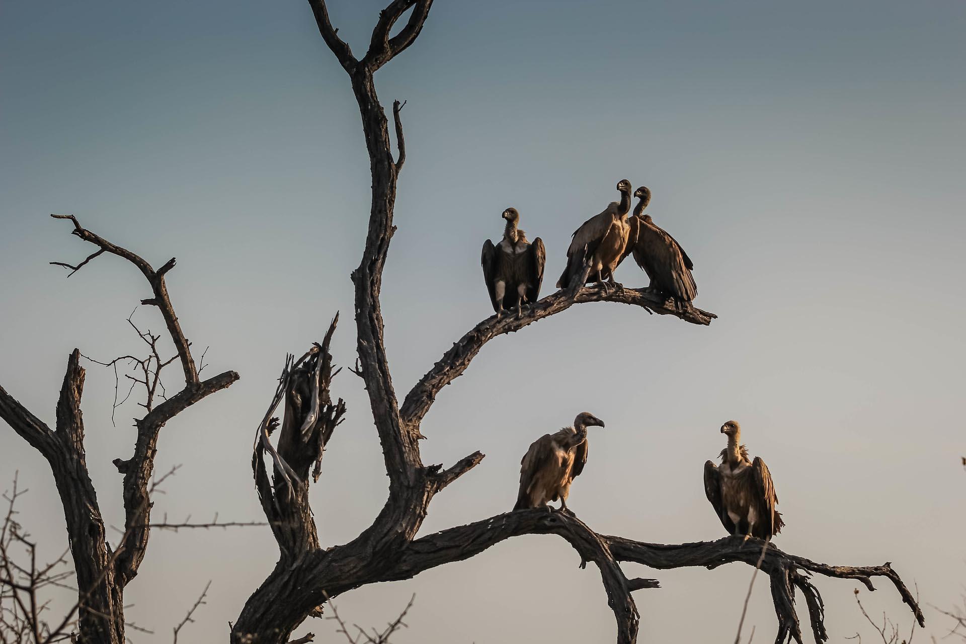 Buitres en África