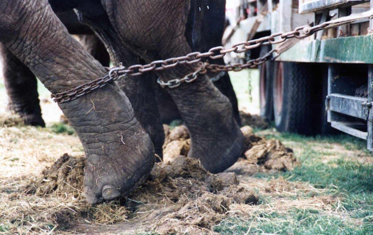 Elefante encadenado en el circo