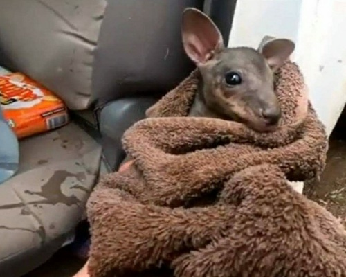 Bebé canguro rescatado de los incendios en Australia