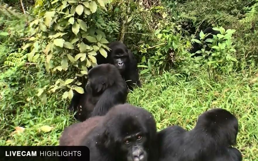 Gorilas en directo en el Congo