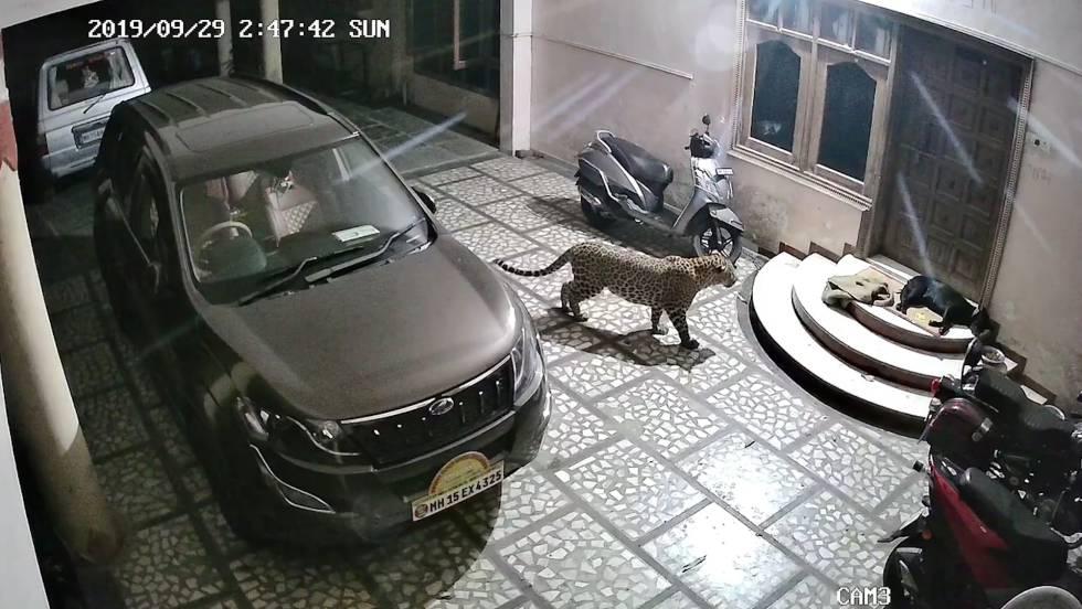 Un leopardo ataca a un perro en su casa en India
