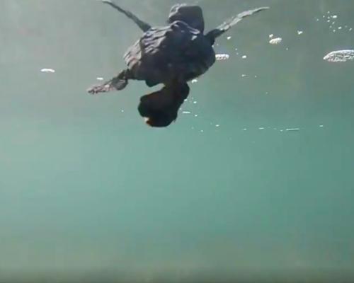 neonato de tortuga boba