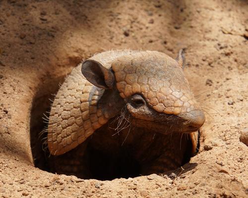 El armadillo es un mamífero peculiar lleno de curiosidades que parece anclado en el pasado