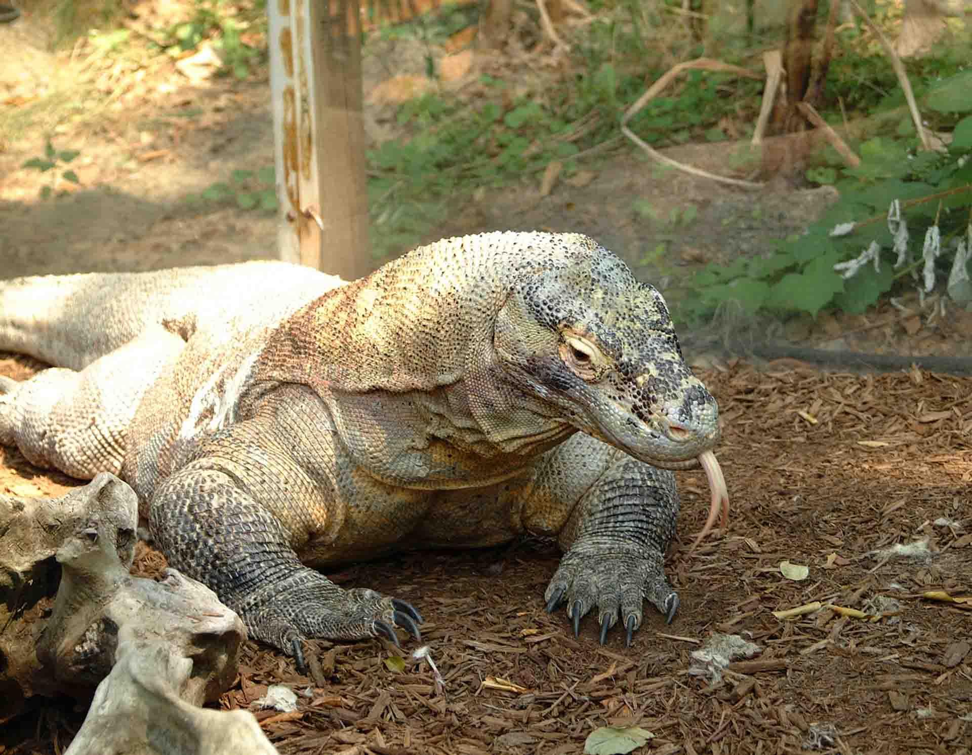dragón de komodo