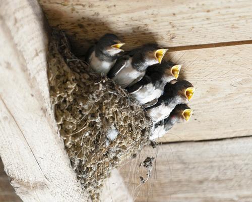 Destruir los nidos de las aves supone una acción ilícita