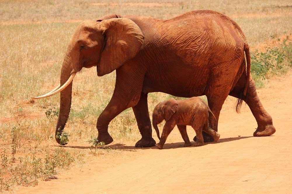 Elefantes en Tsavo East Park, en Kenia
