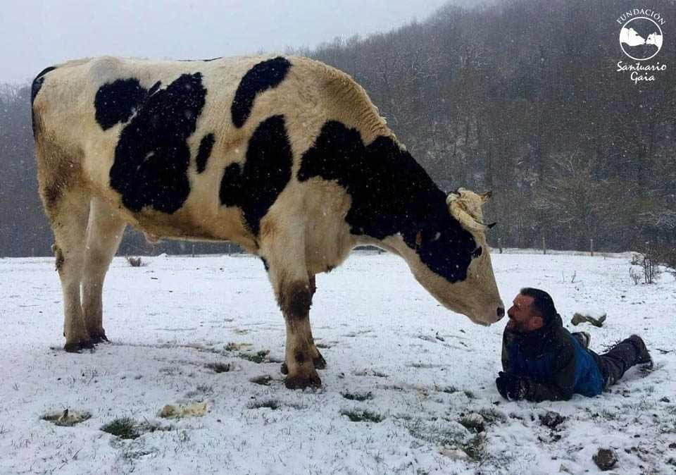 El toro Samuel con su cuidador Ismael en Santuario Gaia