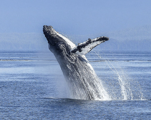 ¿Por qué las ballenas apenas padecen cáncer?