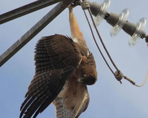 Anse denuncia la muerte de aves protegidas en los tendidos eléctricos de Murcia
