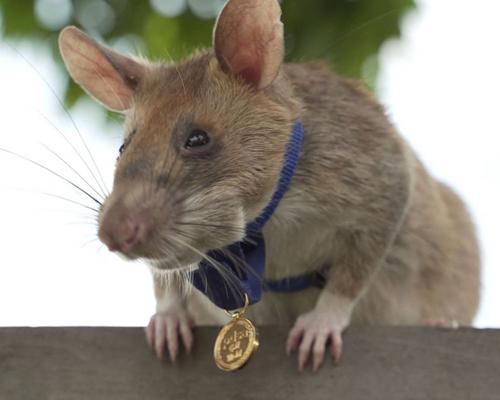 La rata Magawa se jubila después de varios años localizando artefactos en Camboya