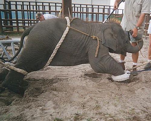 Elefante maltrato circo