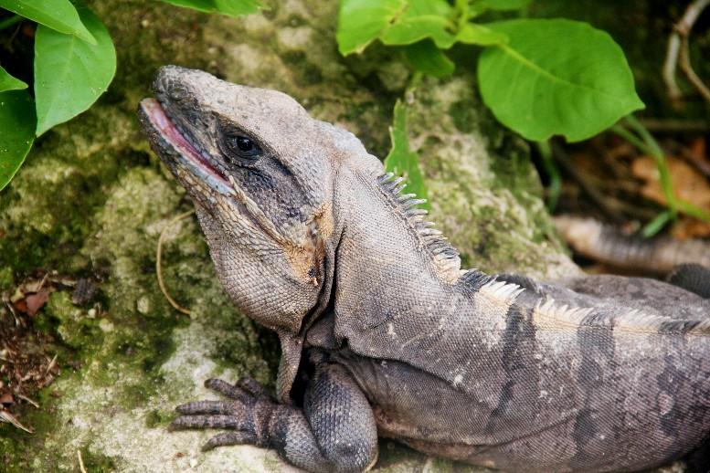 Iguana salvaje en Riviera Maya