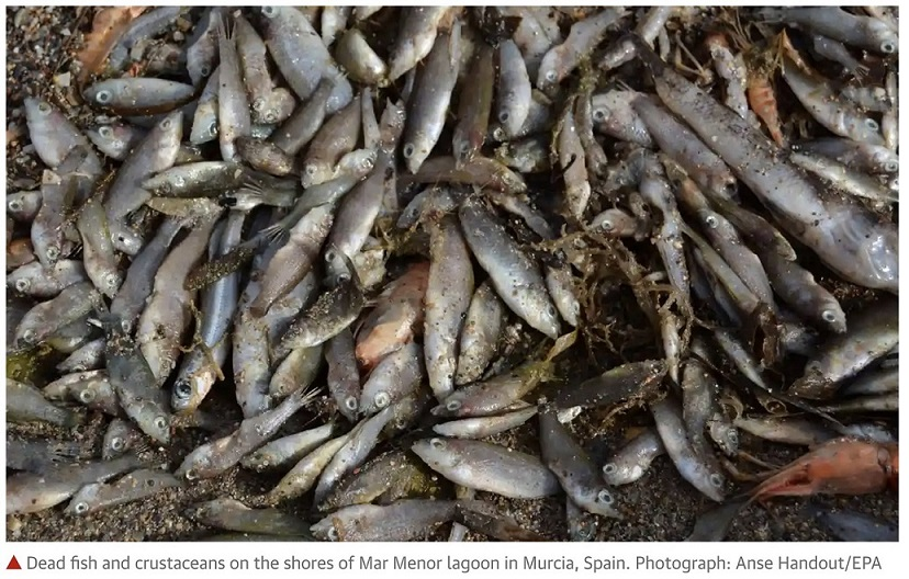 Purines envenenan el Mar Menor porque el Gobierno Regional se basa en un informe de un cargo en el Grupo Fuertes
