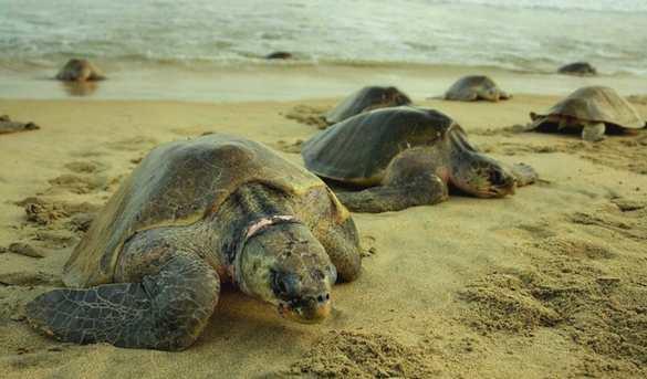 Mantienen la preservación de tortugas marinas en Riviera Maya