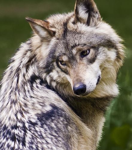 Lobo Gris Mexicano (Canis lupus baileyi)