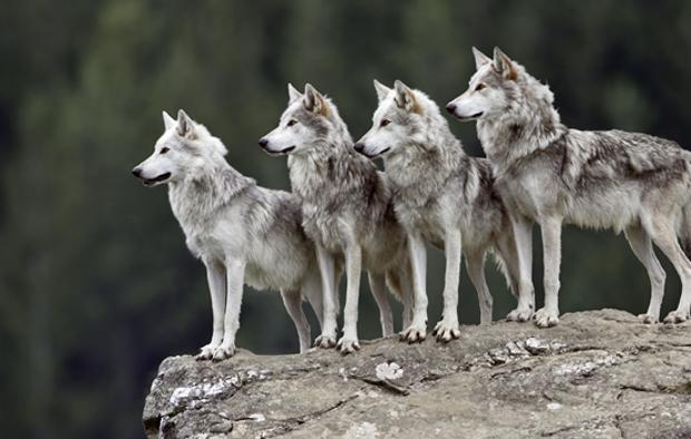 Datos curiosos sobre el Lobo Gris Mexicano (3)