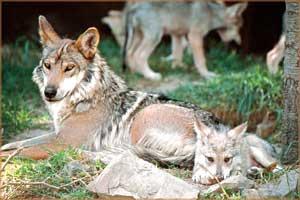 Hacia la recuperación del Lobo Mexicano a tierras silvestres
