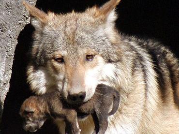 La política, en contra del lobo mexicano en EU