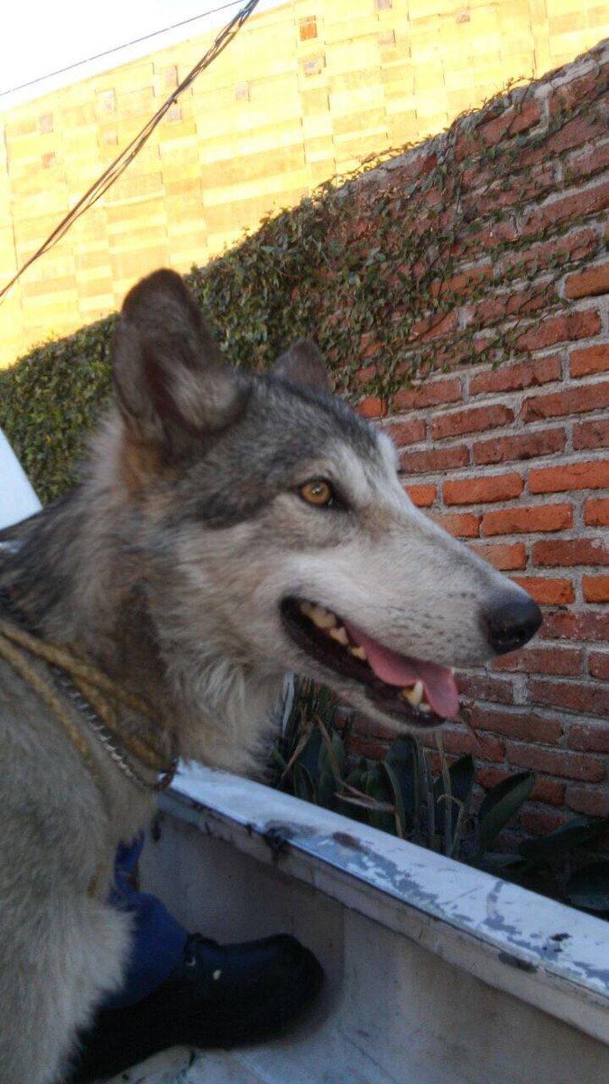 Lobo mexicano deambulaba en Cuernavaca