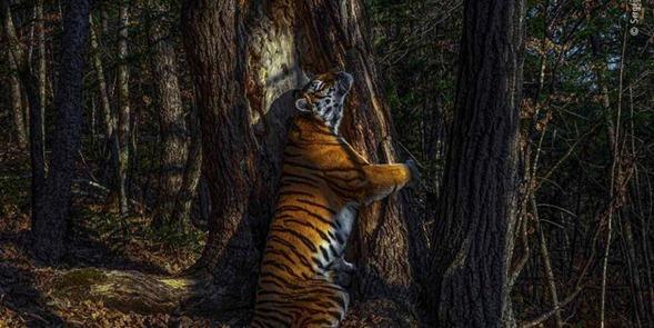Premio de fotografía del año: un tigre que abraza a un antiguo árbol
