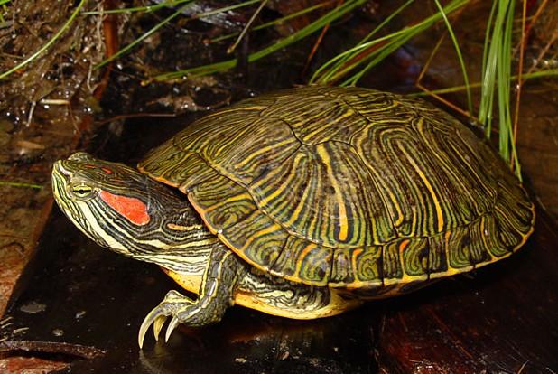 La tortuga hicotea