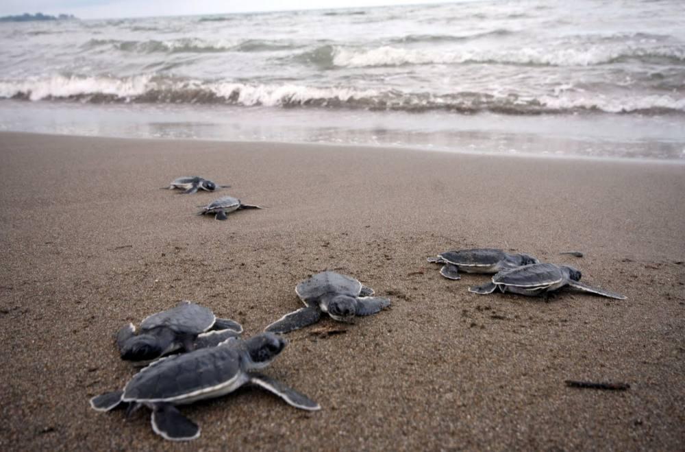 Liberan tortugas en magdalena