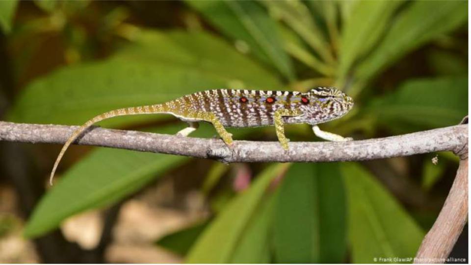 Se halla especie de camaleón desaparecido de hace 100 años en Madagascar