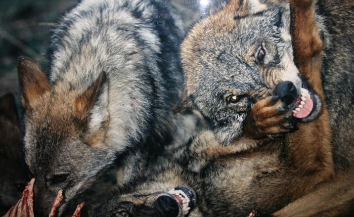Ganaderos lenenses afirman que tienen que asumir más de la mitad de los daños por ataques del lobo