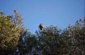 Los vecinos de Las Rozas podrán solicitar tratamiento de endoterapia para evitar la procesionaria en sus árboles