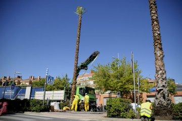 Nueva plantación de palmeras en Boadilla el Monte