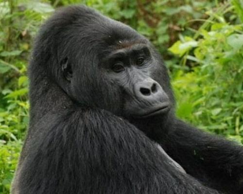 Los furtivos matan a Rafiki, popular gorila de Uganda