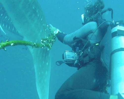 Tailandia busca un tiburón ballena enredado en una cuerda