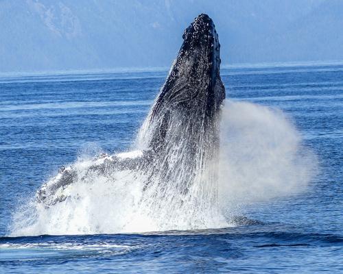 Las ballenas jorobadas tienen menos crías debido al cambio climático