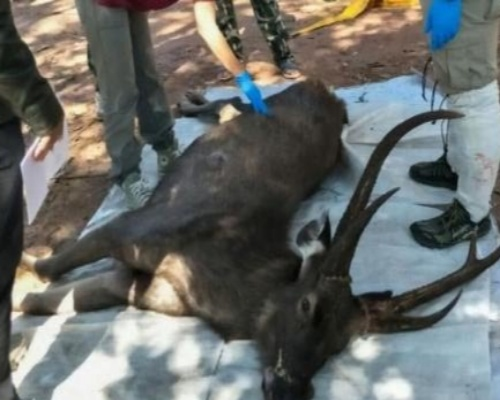 Hallan un ciervo con siete kilos de basura en su estómago