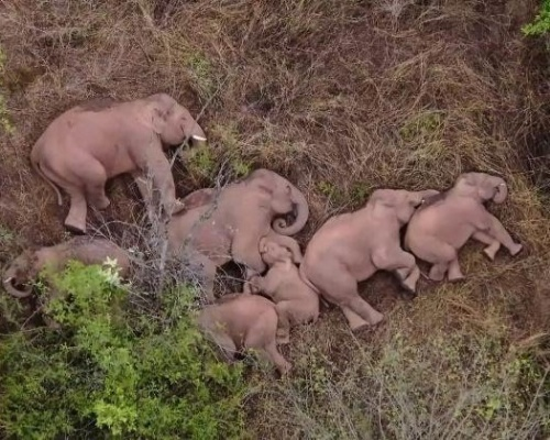 La sorprendente siesta de la manada nómada de elefantes asiáticos
