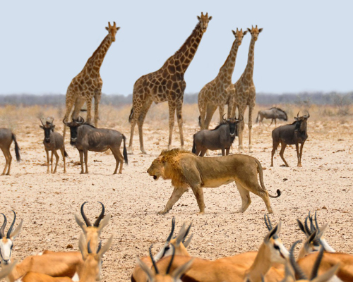 Namibia subasta un millar de animales por la sequía