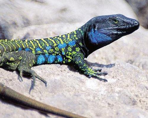 El lagarto tizón de Tenerife, amenazado por el cambio climático