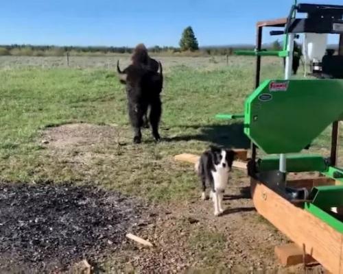 Así reacciona una perra sorprendida por un bisonte