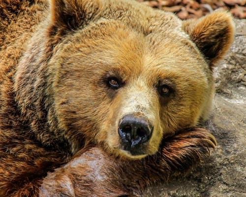La polémica muerte del oso Cachou, el más famoso del Pirineo