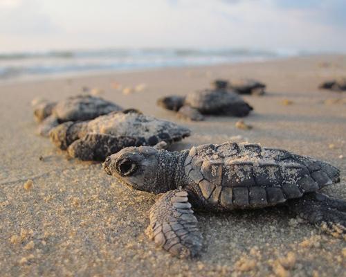 ¿Qué debemos hacer si vemos una tortuga en la playa?