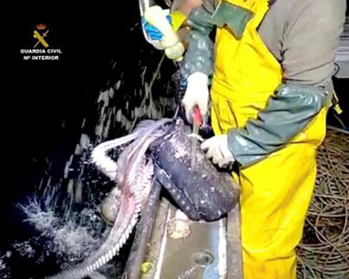 Decenas de pulpos son devueltos al mar en Santoña