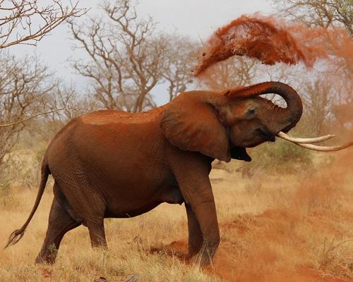 Las dos especies de elefante africano están en peligro