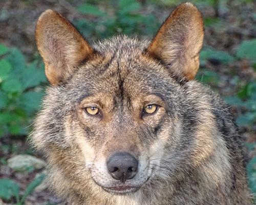Ya está en vigor: prohibida la caza del lobo en toda España