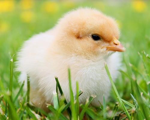 Francia prohíbe triturar pollos macho vivos